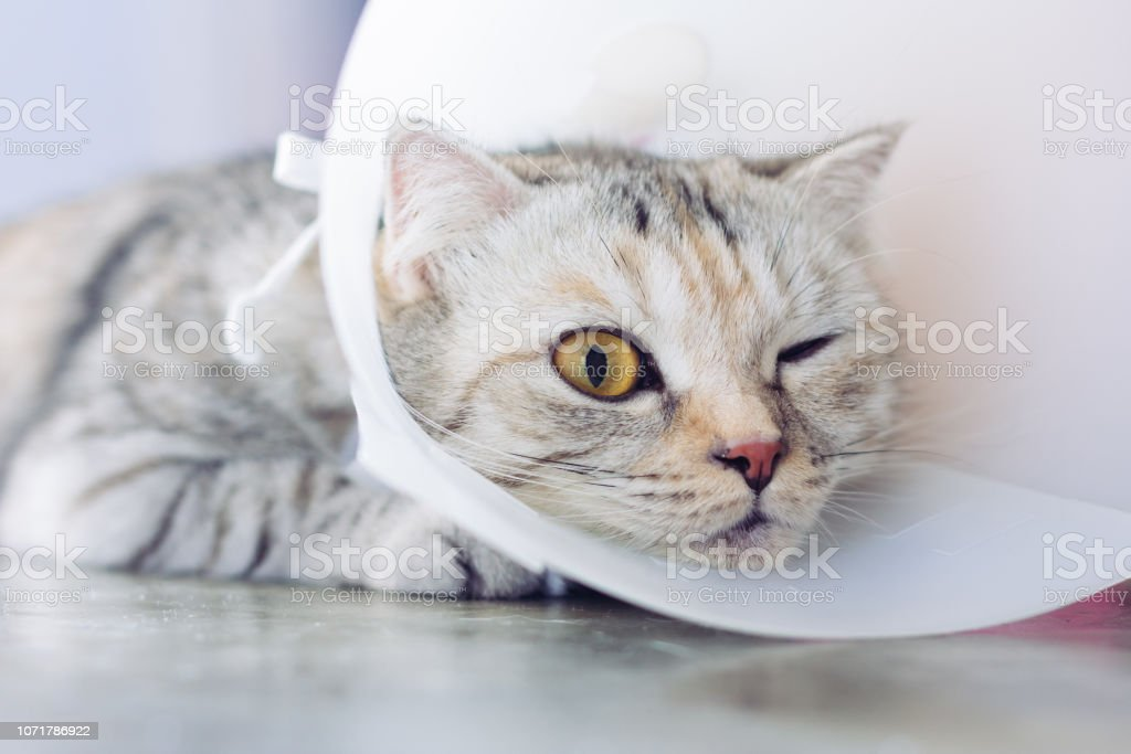 Cat wearing a protective buster collar stock photo