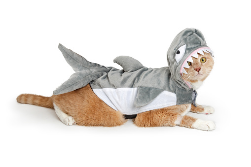 Cute cat wearing funny shark Halloween costume while lying down to side on white background.