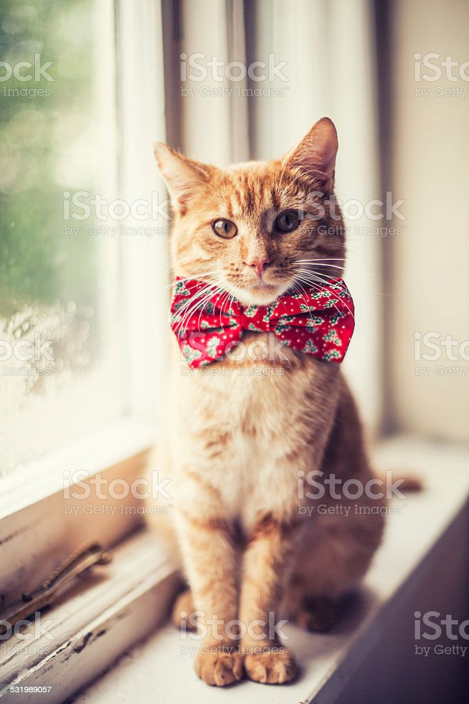 Cat wearing red bow tie stock photo