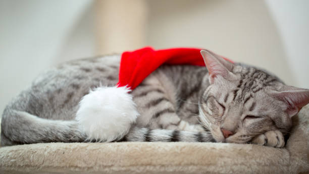 cat wearing red christmas hat and sleeping. - ocicat foto e immagini stock