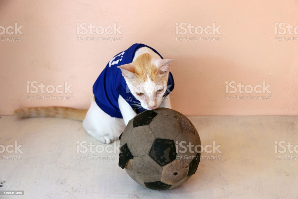 Cat wears blue shirt of Japan national football team with old soccer ball.  royalty- 015bf6cd4