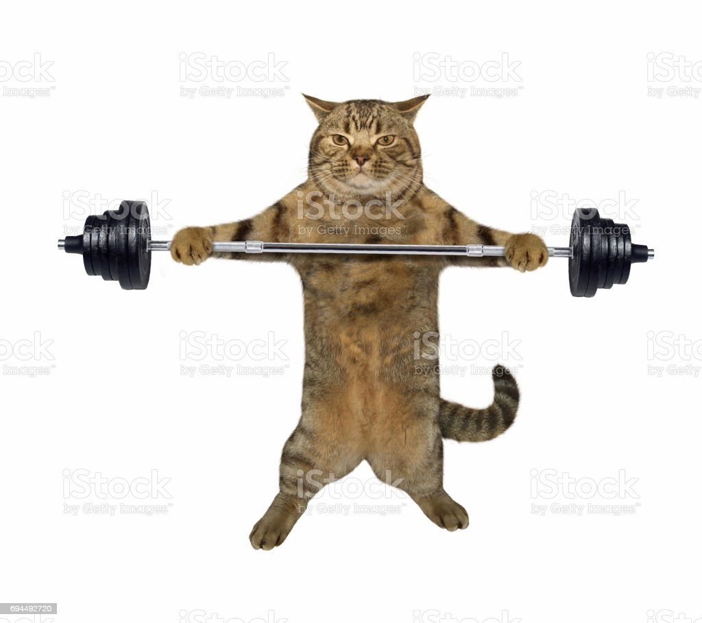 Cat weightlifter 1 stock photo