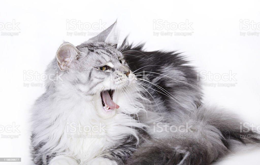 Kot Maine Coon Białysilver Stockowe Zdjęcia I Więcej Obrazów Biały