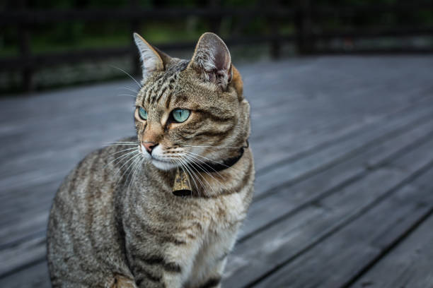 Cat with a bell on its neck picture id834752496?b=1&k=6&m=834752496&s=612x612&w=0&h=8 cxuims1r3bfzchf49oc4y6nd2mcyw5rhe 13jz6e8=