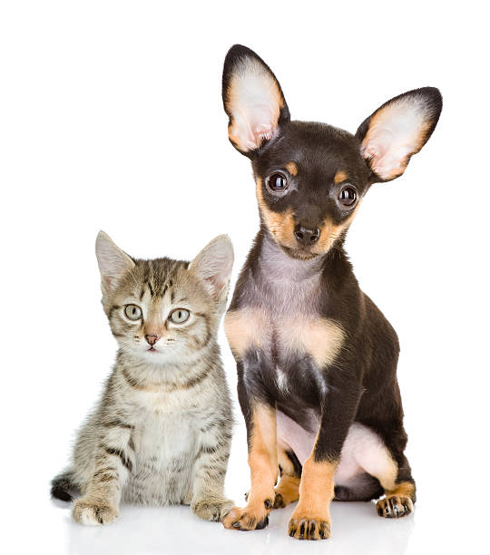Cat with a dog attentively look in the camera picture id517415782?b=1&k=6&m=517415782&s=612x612&w=0&h=xx83drfjoei9d5p r8lpvl nzmdv kkt43byzxrdvqk=