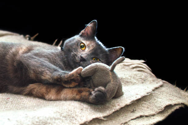 Cat with a toy picture id898112510?b=1&k=6&m=898112510&s=612x612&w=0&h=noxzkwtong6ubttmvwcg1z   nelevit3lq3ep8a7hc=
