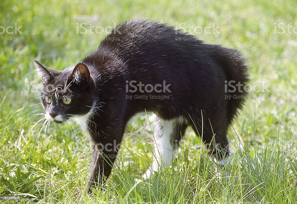 Cat with arched back stock photo