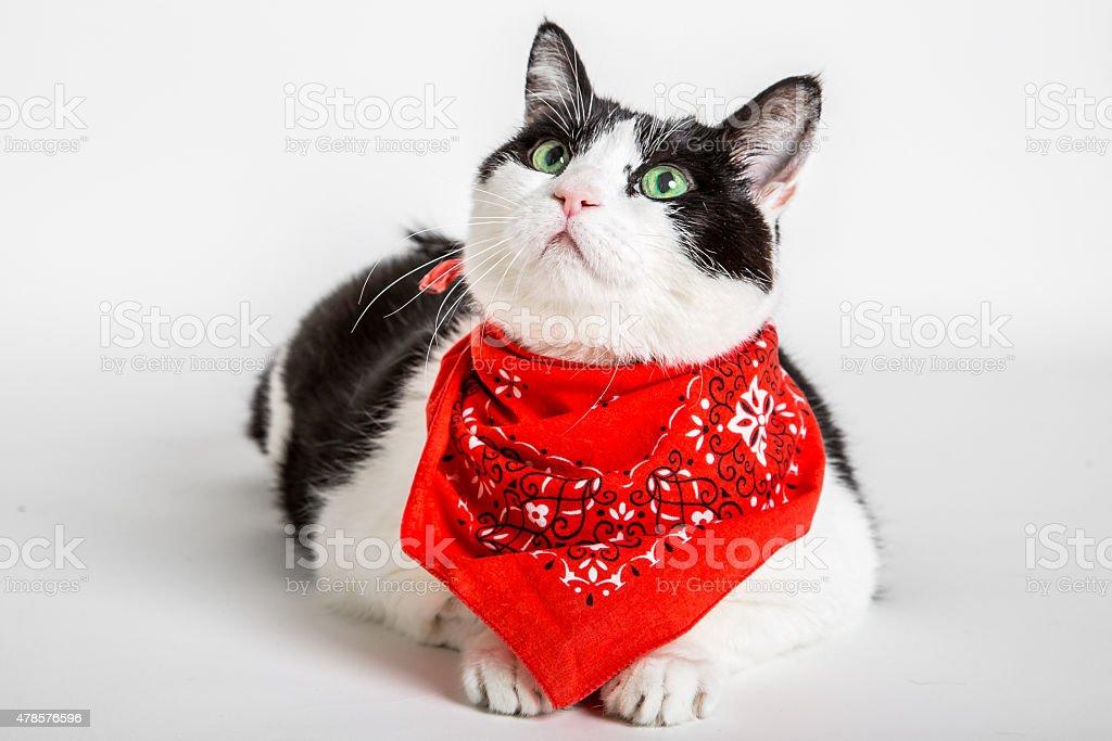 Cat with bandana stock photo