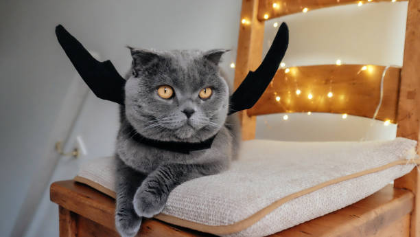 Cat with bat wings Grey Scottish Fold cat with bat wings in front of fairy lights halloween cat stock pictures, royalty-free photos & images