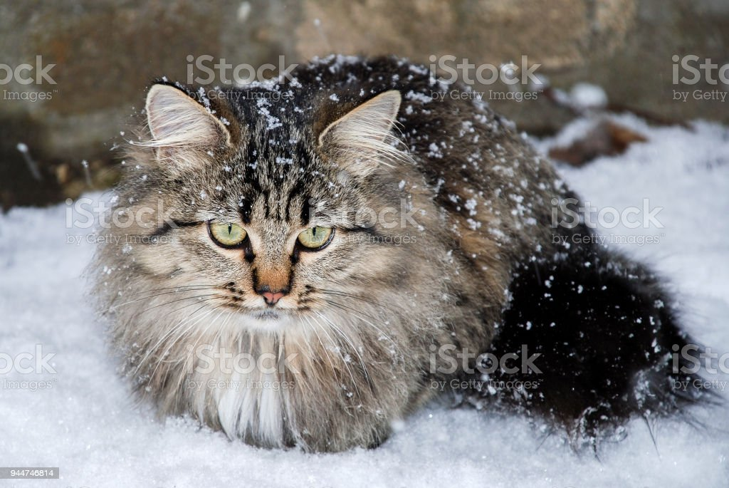 cat with big yellow eyes in winter. stock photo