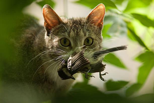 cat with bird in a teeth. - rovdjur bildbanksfoton och bilder