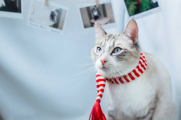 Cat with blue eyes and a red scarf looks seriously ahead picture id1251329984?b=1&k=6&m=1251329984&s=612x612&w=0&h=9fbcayo kgfe0w97sahu7cl7qfve12ak habntkzx2e=