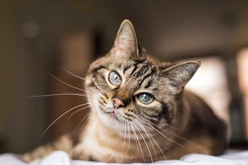 Grey British sort hair cat.