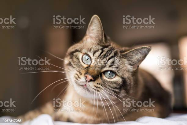Cat with blue eyes looks at camera picture id1067347086?b=1&k=6&m=1067347086&s=612x612&h=0xeemadz1droxa9cr0ksmr9hwyfhjc ytvi1zj5ao68=