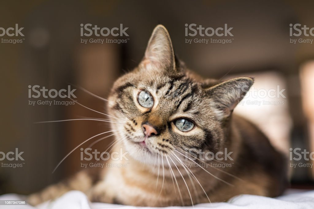 Cat with blue eyes looks at camera stock photo