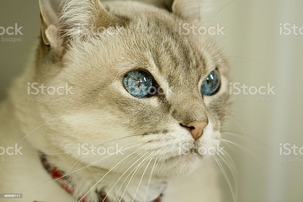 Cat with blue eyes royalty-free stock photo
