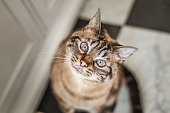 Sweet tabby cat with a curious, happy expression looks up at the camera