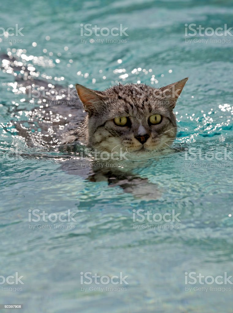 Cat With Bright Eyes Swimming Across Pool Close Up royalty-free stock photo