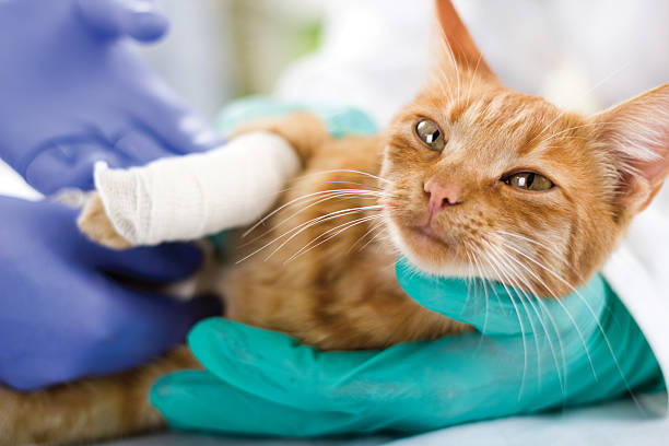 cat with broken leg - medical dressing stock pictures, royalty-free photos & images