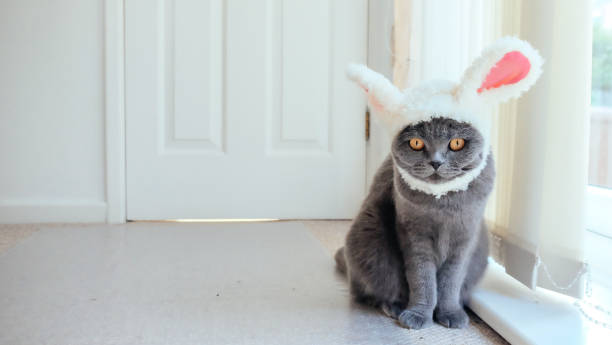 Cat with bunny ears Grey Scottish Fold cat wearing a hat with bunny ears pet clothing stock pictures, royalty-free photos & images