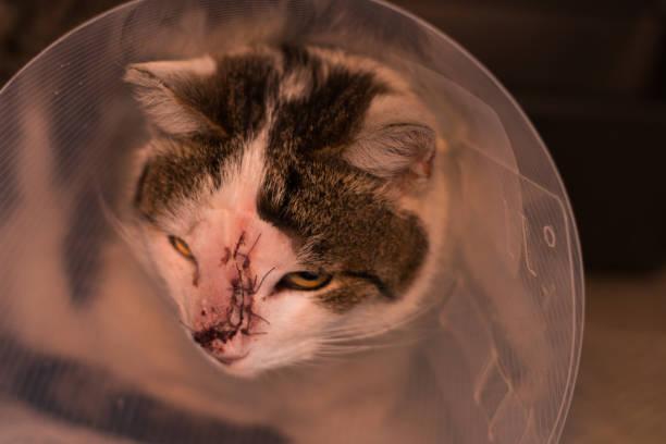 kat met kraag na het verwijderen van tumor chirurgie - ketamine stockfoto's en -beelden