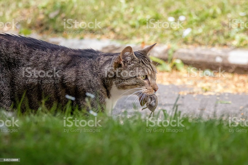 Cat with dead mouse in mouth, Hunting Animal stock photo