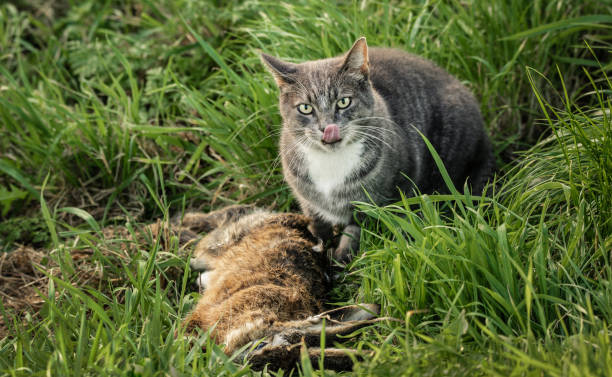 Cat with dead rabbit stock photo
