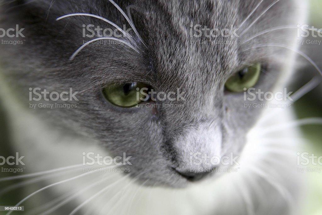 猫、緑色の目 - ふわふわのロイヤリティフリーストックフォト