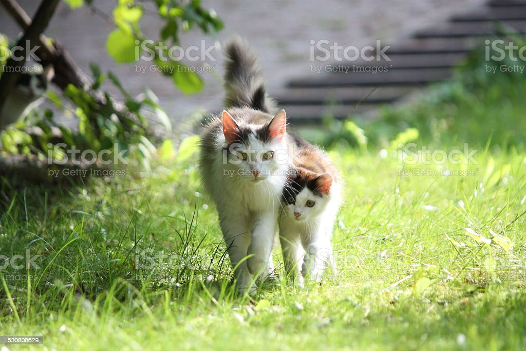 Cat with her kitten walking together in the garden stock photo