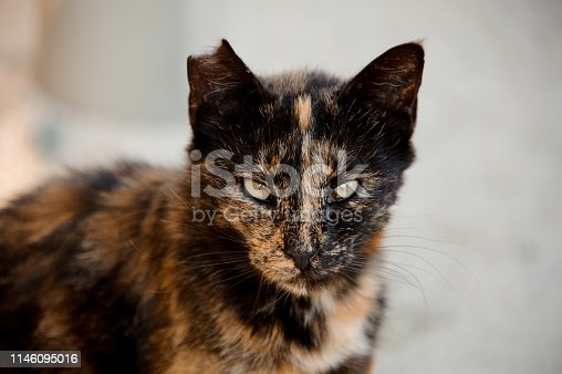 Sullen street cat with its ear being partially bitten off