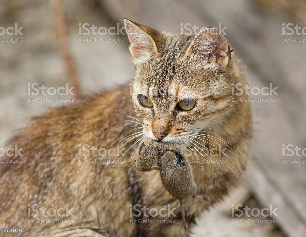 Gato con en Boca Ratón - foto de stock