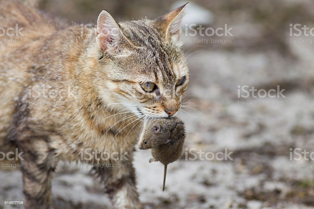 Cat with mouse in mouth stock photo