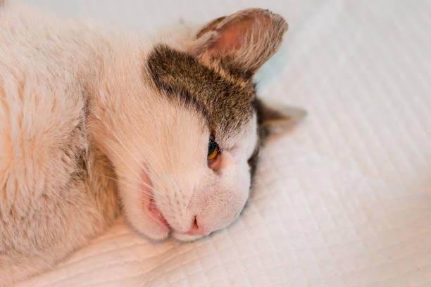 kat met neus tumor voorbereid voor chirurgie - ketamine stockfoto's en -beelden