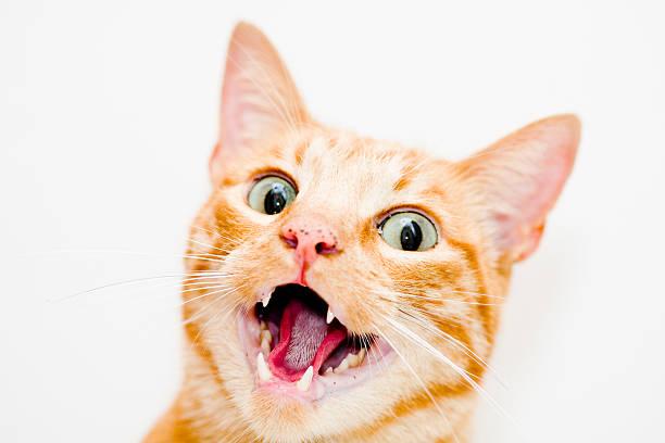 Cat with open mouth picture id626464158?b=1&k=6&m=626464158&s=612x612&w=0&h=sqvlaxyvttz  nuzrshs1fop0c7ps rsuqypdbzlllg=