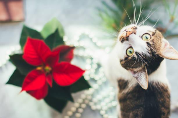 katze mit weihnachtsstern. lustiges foto eines haustieres vor weihnachten - weihnachtssterne aus papier stock-fotos und bilder