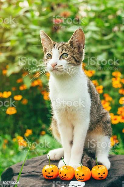 Cat with pumpkinshalloween concept picture id609710008?b=1&k=6&m=609710008&s=612x612&h=wbuhifzzmxlxxqayv ig6k1grz0qhfz3ycknyjlxpps=