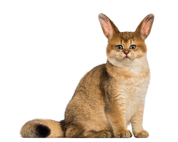 cat with rabbit ears sitting and looking at the camera - genetic modification stock photos and pictures