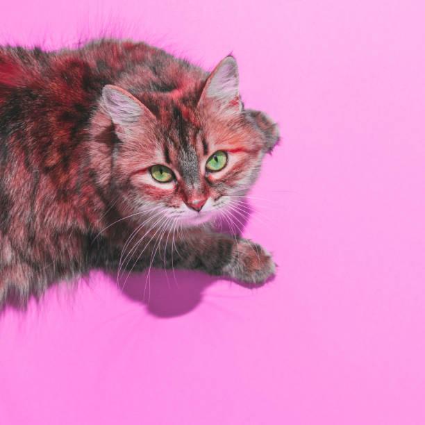 gato con el pelo rojo. cabeza sobre los talones en fondo rosa audaz. - cat vaporwave fotografías e imágenes de stock