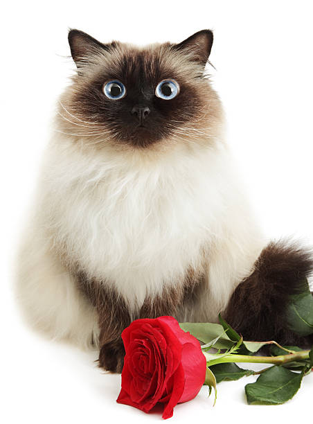Cat with rose stock photo