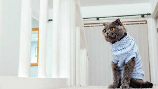 Cat with sweater picture id910001164?b=1&k=6&m=910001164&s=612x612&w=0&h=9wl cbprbtt8soinoaehq6xr r8r1byq5imrifmm0zs=