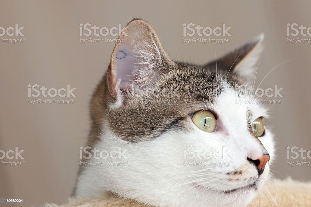 chat avec tatouage sur son oreille interne photos et plus d 39 images de 2015 istock. Black Bedroom Furniture Sets. Home Design Ideas