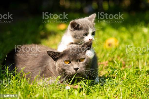 Cat with the baby kitten on grass picture id1126645371?b=1&k=6&m=1126645371&s=612x612&h=gttniesizqina fk3msxmeulqs kdzij5ny33 lbwgq=
