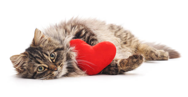 Cat with toy heart. Cat with toy heart isolated on a white background. kitten cute valentines day domestic cat stock pictures, royalty-free photos & images