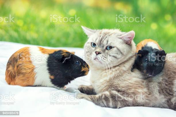 Cat with two guinea pigs in the garden one guinea pig lies on the picture id945493476?b=1&k=6&m=945493476&s=612x612&h=xca1cxuojj lsulgsixarjby3mlda1fxz 8nztblmgu=
