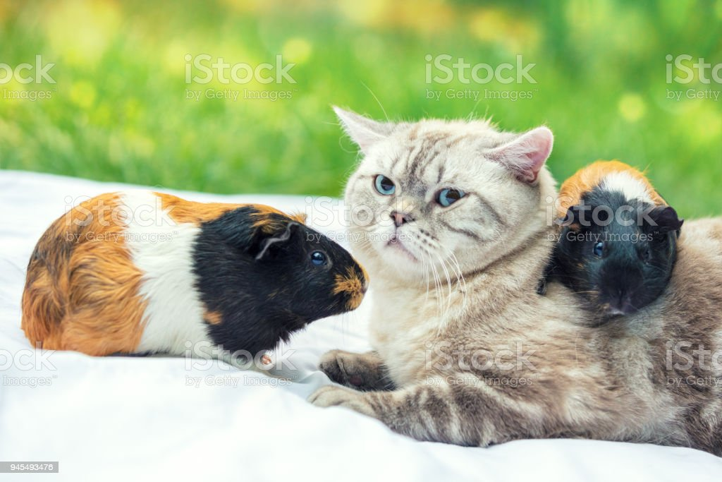 Cat with two guinea pigs in the garden. One guinea pig lies on the cat's back stock photo