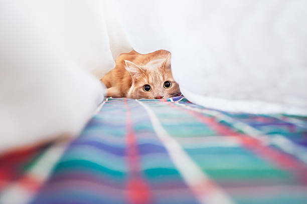 cat with very big eyes is playing stock photo