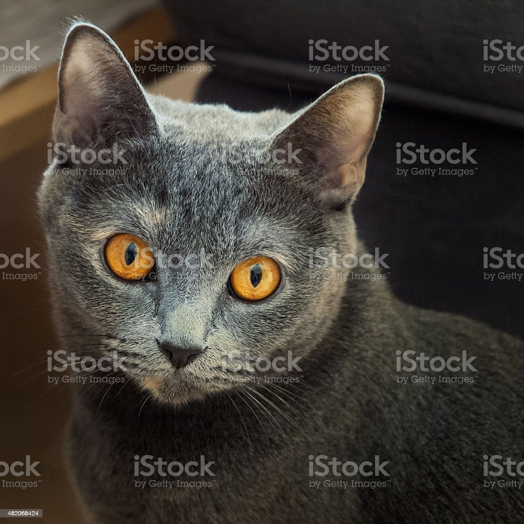 Cat with yellow eyes Portrait stock photo