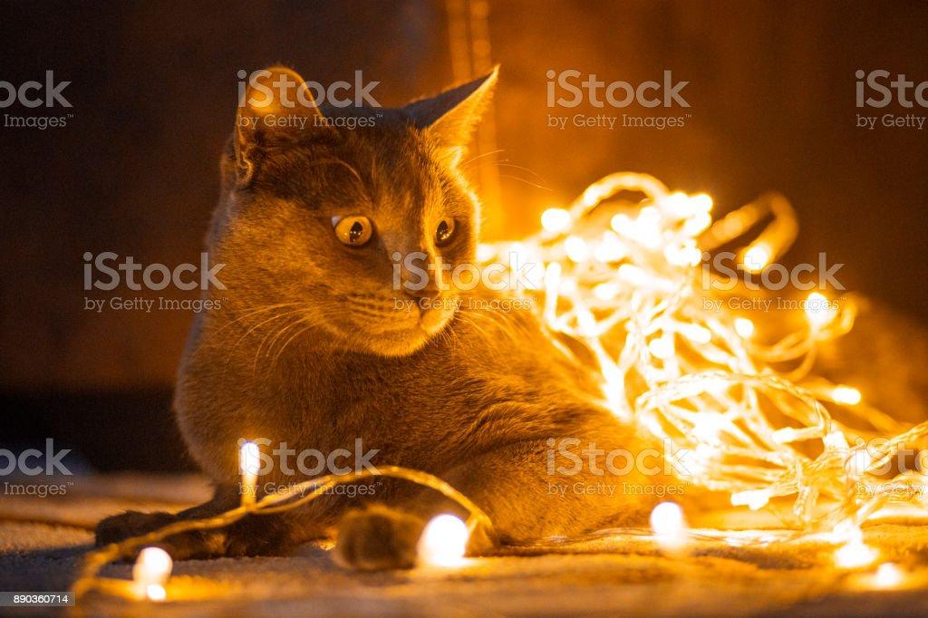 Katze, eingehüllt in Weihnachtsbeleuchtung – Foto
