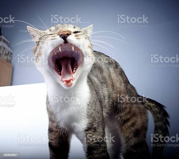 Cat yawning picture id150905821?b=1&k=6&m=150905821&s=612x612&h=wthj1zp7guxa4fr5lmk1oajot3vsnb3amhdm3qqugje=