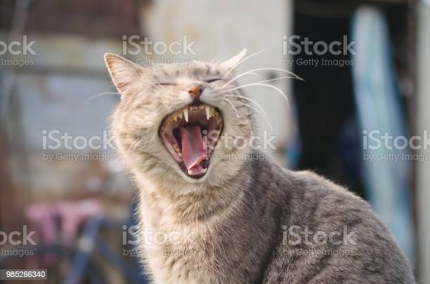 Cat yawns with a wide open mouth picture id985266340?b=1&k=6&m=985266340&s=612x612&h=2g8d9bcg7df3njkau qnebu3gaaxh2vg8syzwfmj8va=